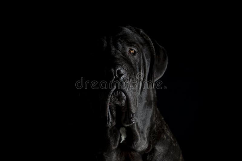 Dramatic black dog portrait stock image