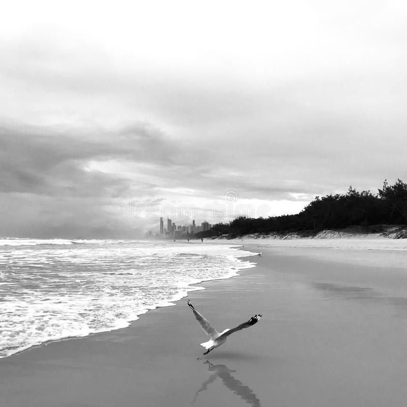 Dramatic black-and-white shot of a seagull taking a flight on a beach royalty free stock photo