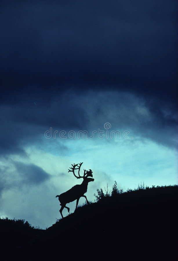 Download Dramatic Caribou Silhouette Stock Image - Image: 8527943