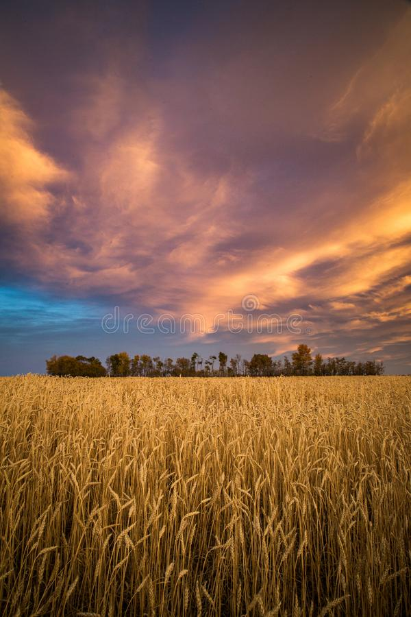 Colorful clouds over wheat field royalty free stock photos