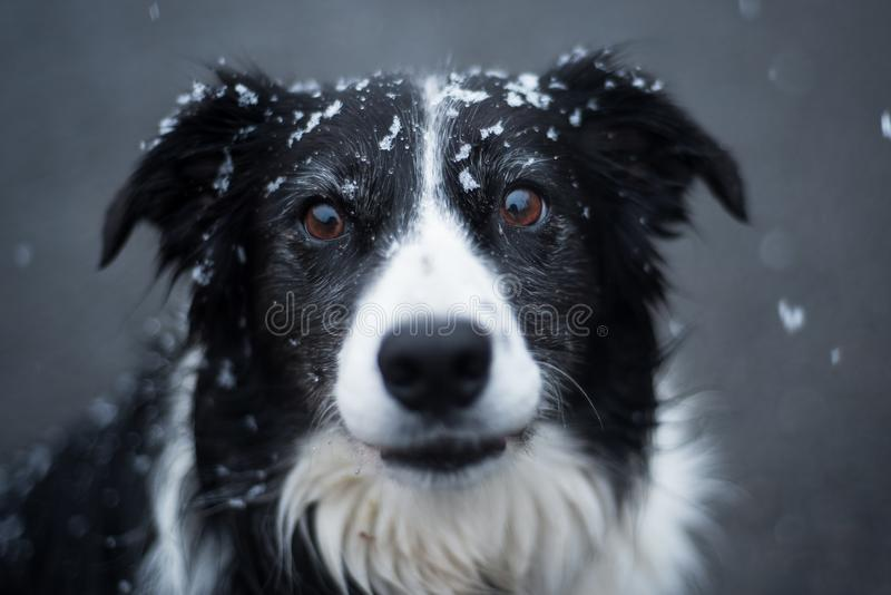 A dramatic dog under the snow royalty free stock image