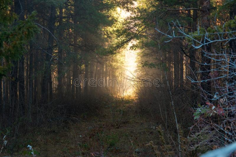Dramatic fantasy Forest landscape with mystical morning sun light effect. Morning fog. Dramatic fantasy Forest landscape with mystical morning sun light effect stock image