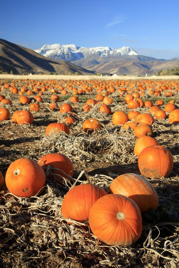 Dramatic golden pumkin field in the Utah mountains, USA. royalty free stock image