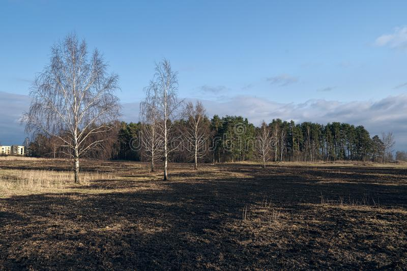 Birch trees in the spring meadow after last year`s dry grass burn out. Dramatic landscape of ecological disaster caused by traditional last year`s dry grass royalty free stock photography