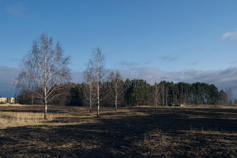 Birch trees in the spring meadow after last year`s dry grass burn out. Dramatic landscape of ecological disaster caused by traditional last year`s dry grass royalty free stock images