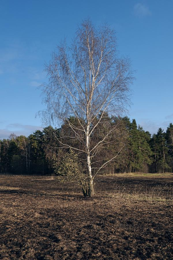 Birch trees in the spring meadow after last year`s dry grass burn out. Dramatic landscape of ecological disaster caused by traditional last year`s dry grass stock images