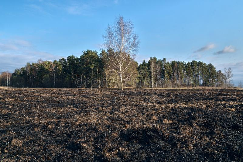 Birch trees in the spring meadow after last year`s dry grass burn out. Dramatic landscape of ecological disaster caused by traditional last year`s dry grass stock image