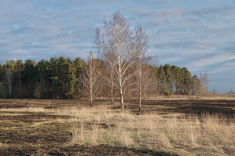 Birch trees in the spring meadow after last year`s dry grass burn out. Dramatic landscape of ecological disaster caused by traditional last year`s dry grass stock photos