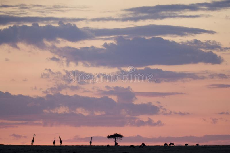 Maasai Mara sunset with trees and giraffes in silhouette, Kenya royalty free stock image