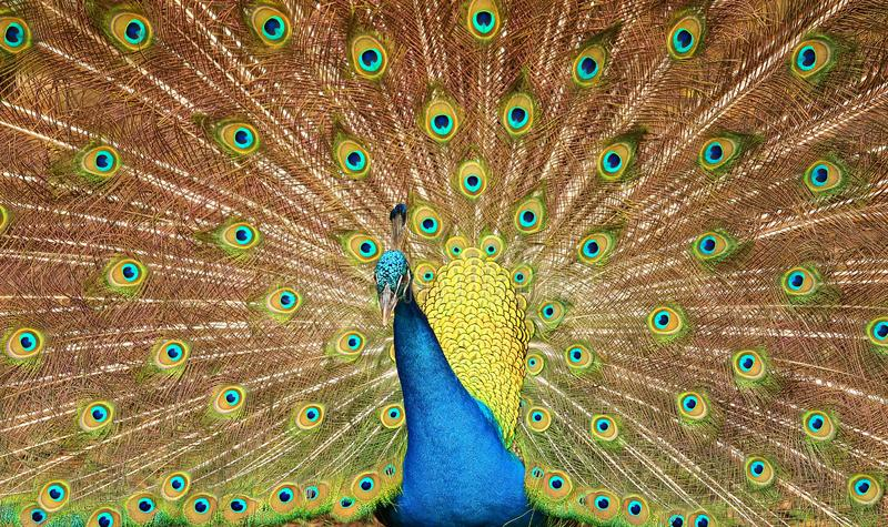 Dramatic peacock feathers stock images