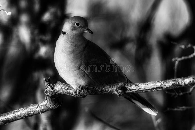 Dramatic Posing Dove at Sunrise Bird, pigeon royalty free stock photography