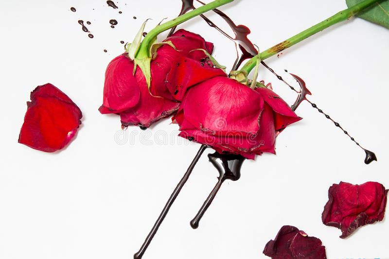 Dramatic scene with dark red roses with blood drops on white background. Gothic flat lay. Top view stock photos