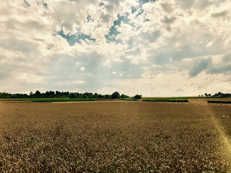 Dramatic sky over corn field royalty free stock photography