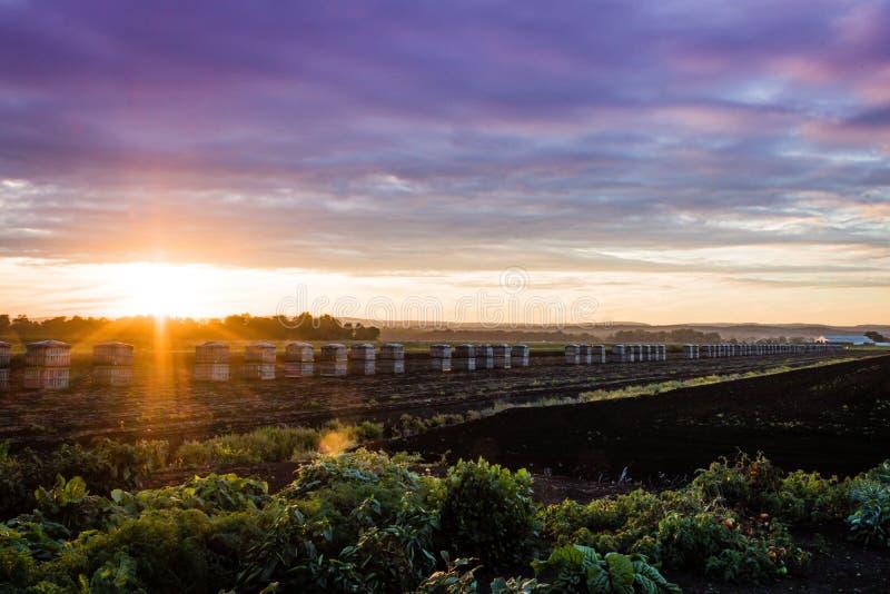 Amazing sunset over farm during peak harvest, late summer royalty free stock image
