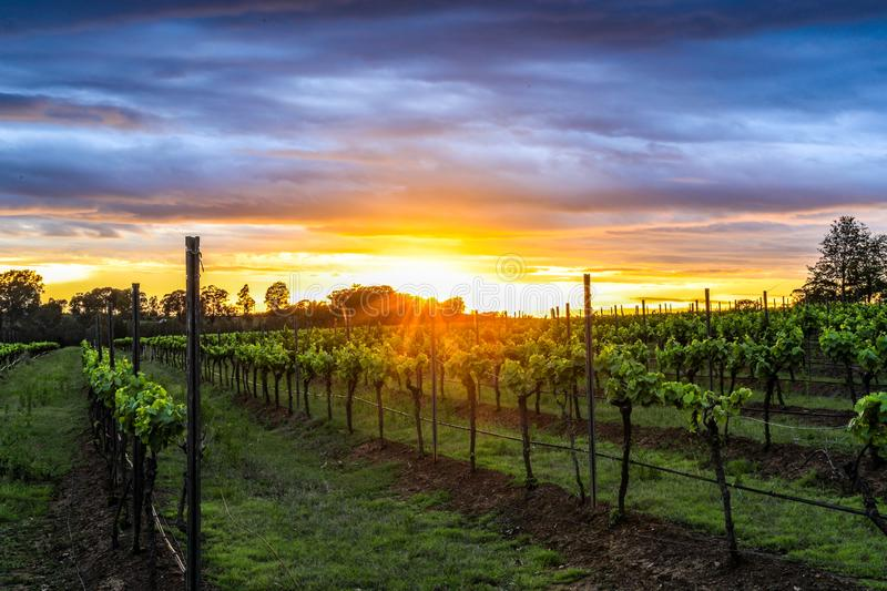 Dramatic sunrise over rows of grapevines royalty free stock photos