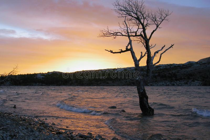 Dramatic Sunrise at Upper Waterton Lake, Waterton Lakes National Park, Alberta. A gnarly cottonwood tree is standing in the waves of a stormy Upper Waterton Lake royalty free stock photo