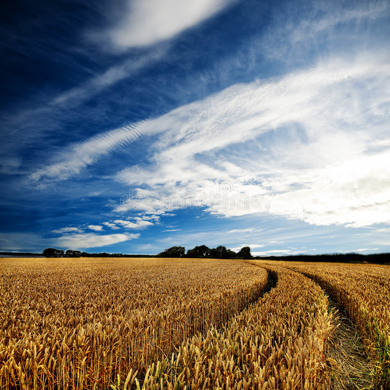 Free Dramatic View Of Wheatfields Stock Photography - 6305132