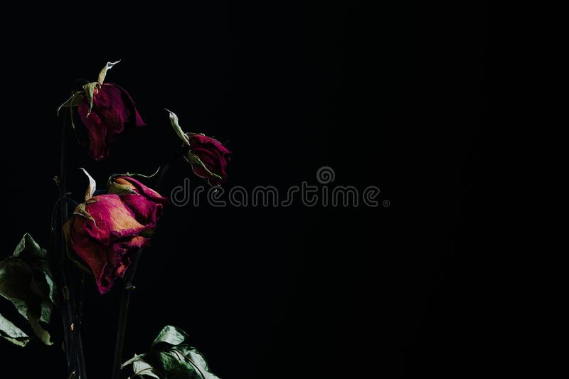 Dramatic withered roses vintage tone on black background with co stock photos