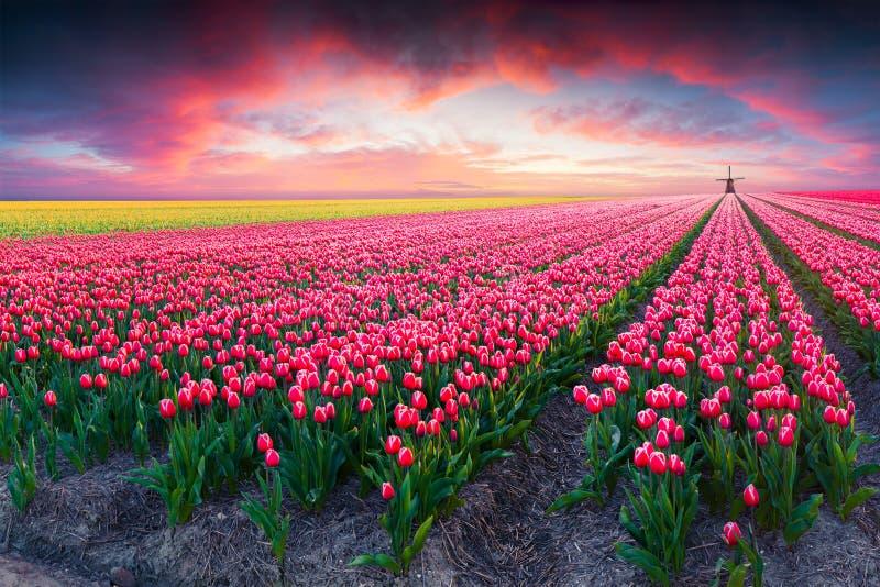 Dramatische de lentescène op het tulpenlandbouwbedrijf stock fotografie