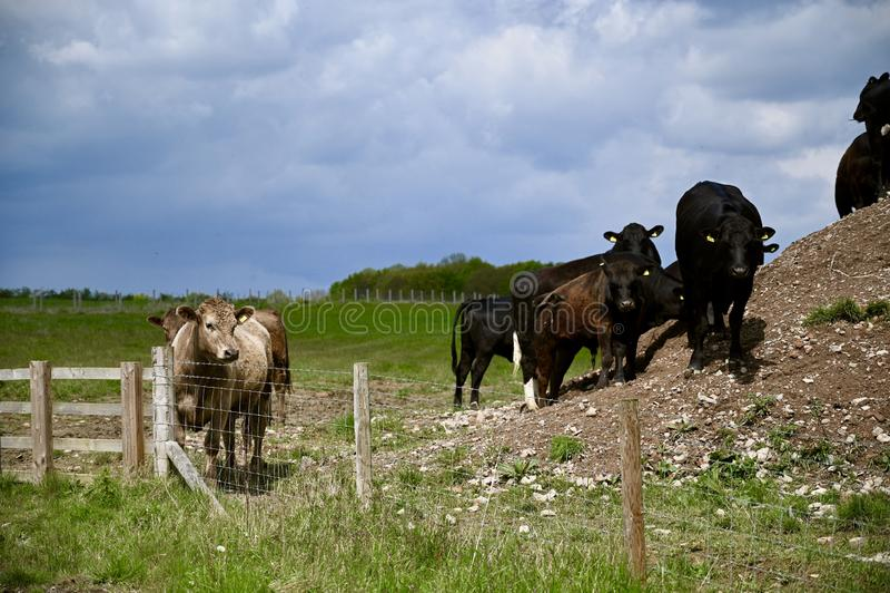 Dramatische kudde van Koeien die eruit zien royalty-vrije stock afbeelding