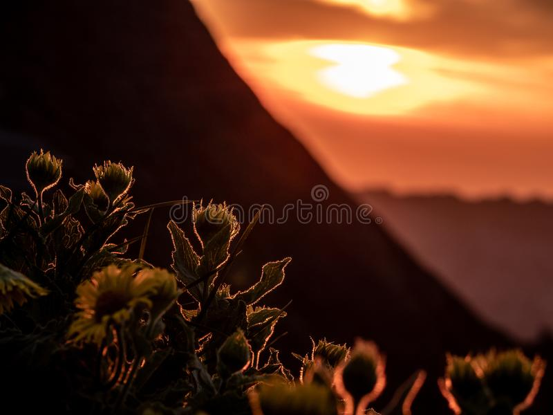 dramatische zonsondergang achter bloemen, silhouet van bloemen met de zomer gouden zonsondergang die bij bloemen glanzen royalty-vrije stock afbeelding