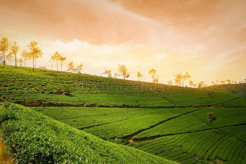 Dramatisk solnedgång på teplantagelandsbygden royaltyfria bilder