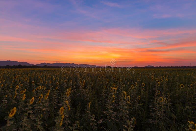 Dramatisk solnedgånghimmel över solrosfält för full blom royaltyfria bilder