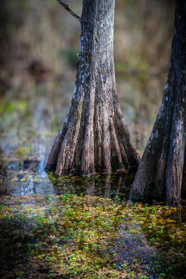 Dramatiska cypresstrees av evergladesna arkivfoton