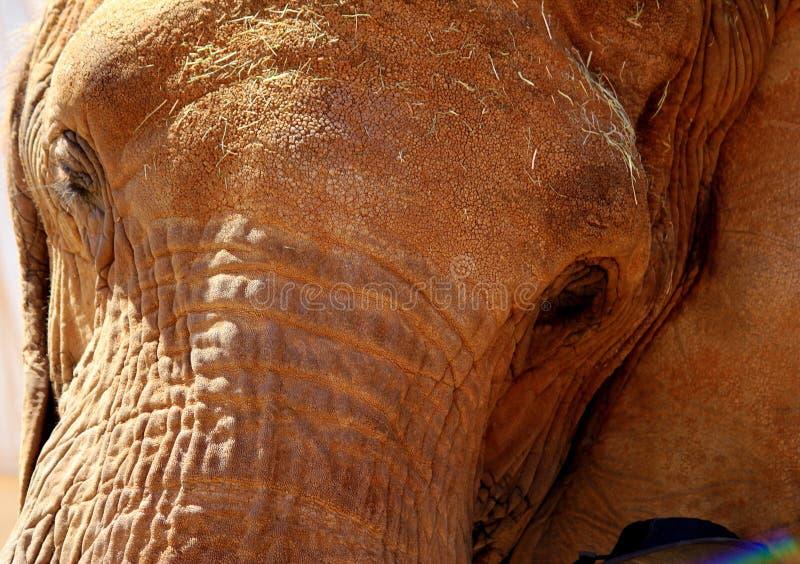 Dramatiskt slut upp av vänskapsmatchbruntelefanten med den personliga regnbågen royaltyfri fotografi
