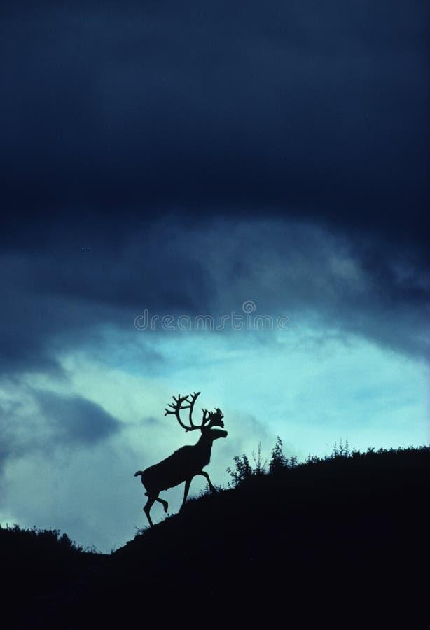 dramatyczna caribou sylwetka zdjęcia stock