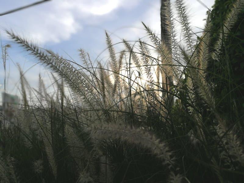 Dramatyczny cogon trawy kwiat i piękny niebo w tle obrazy stock