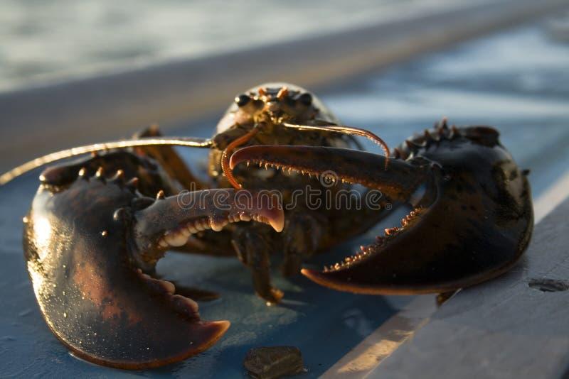 drapa homara obrazy stock