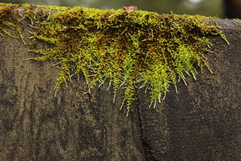 Drapera grön mossa på den gråa stenväggen royaltyfria bilder