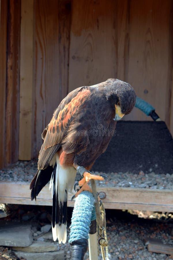 Drapieżczy, dziki ptak w niewoli, obrazy royalty free