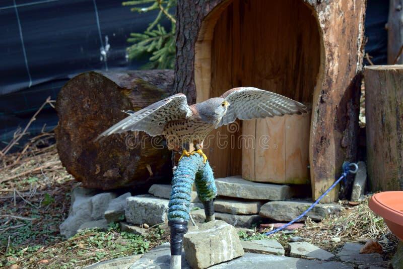 Drapieżczy, dziki ptak w niewoli, obraz royalty free