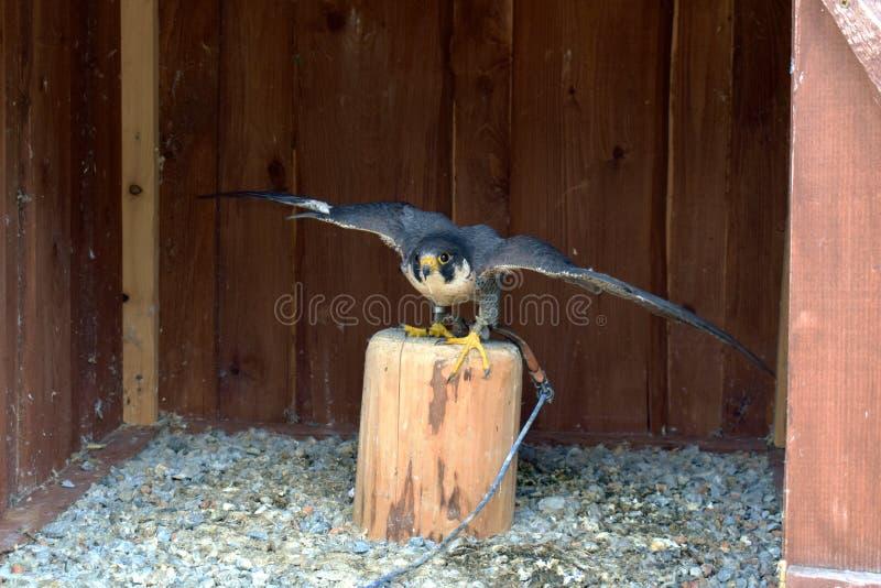 Drapieżczy, dziki ptak w niewoli, obraz stock