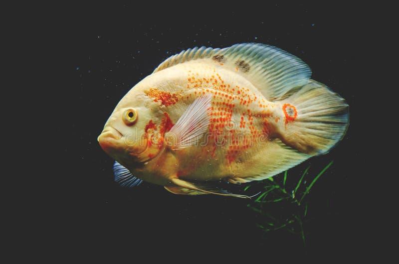 Drapieżczy rybi zakończenie gatunki Astronotus Okellatus, inh zdjęcie stock