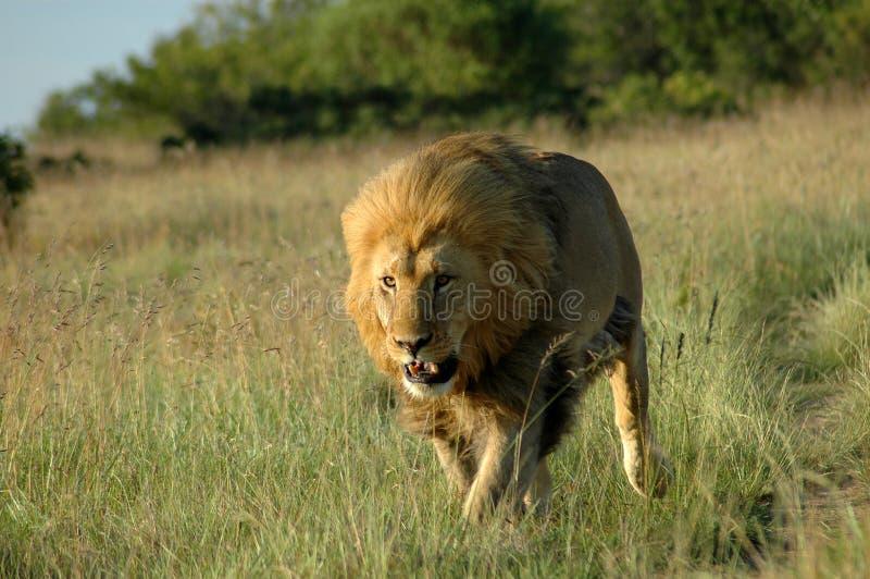 Drapieżnik Afrykańskiej Obraz Royalty Free