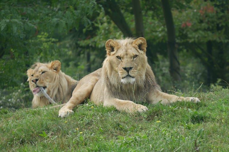 Drapieżnika spojrzenia lew obraz royalty free