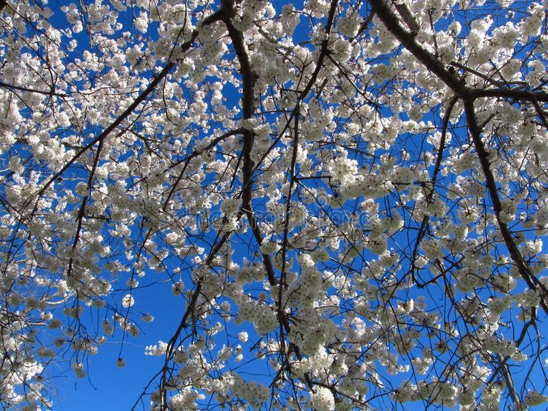 Draping Spring Tree Branches stock photo