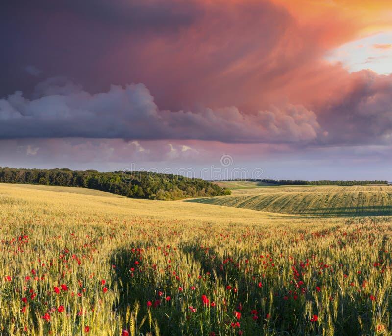 Drastische Sonnenaufgangüberwendlingsnaht über Wiese des Weizens und der Mohnblumen stockbild