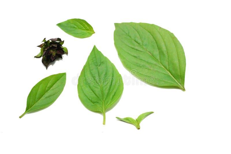 Draufsicht Blätter süßen Basilikums oder des thailändischen Basilikums lokalisiert auf weißem Hintergrund lizenzfreies stockbild