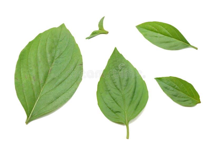 Draufsicht Blätter süßen Basilikums oder des thailändischen Basilikums lokalisiert auf weißem Hintergrund lizenzfreies stockfoto