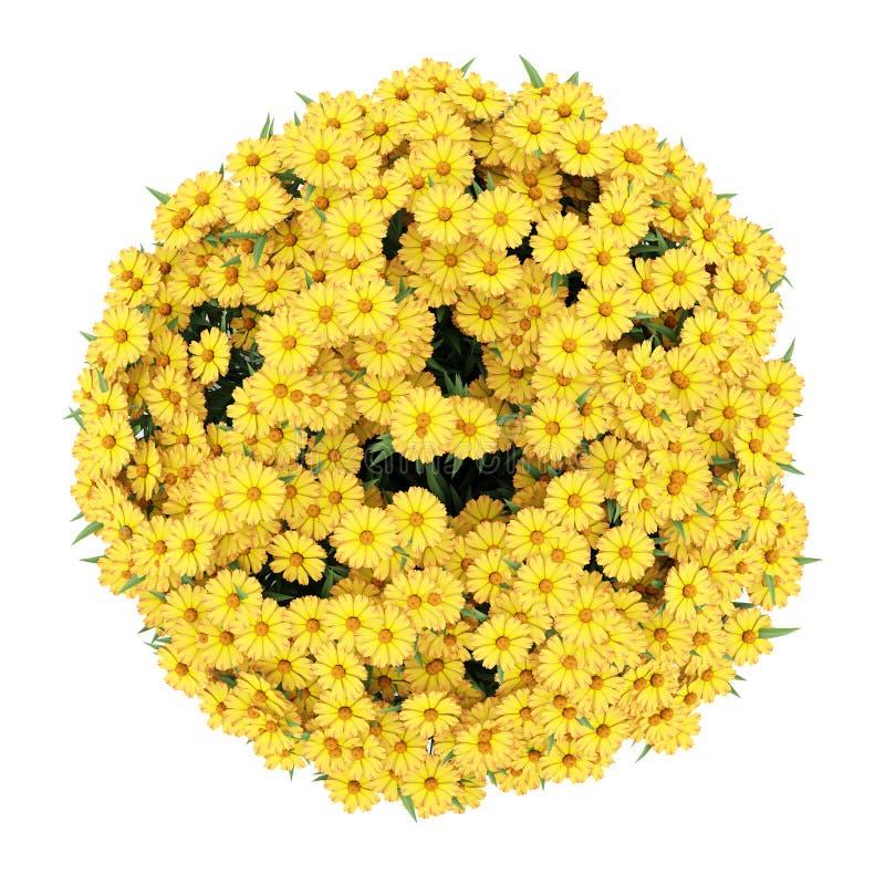 Draufsicht der gelben Sonnenbrautblumen getrennt stock abbildung