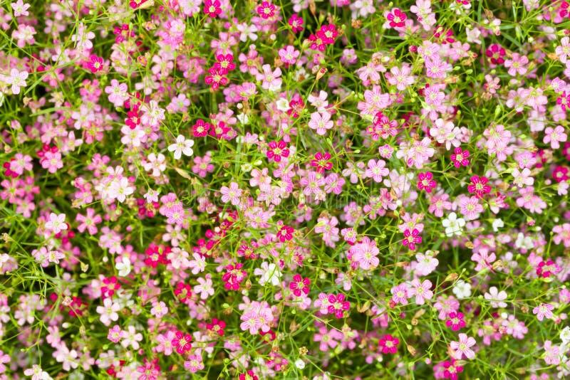 Draufsicht der Gypsophilablume lizenzfreies stockfoto
