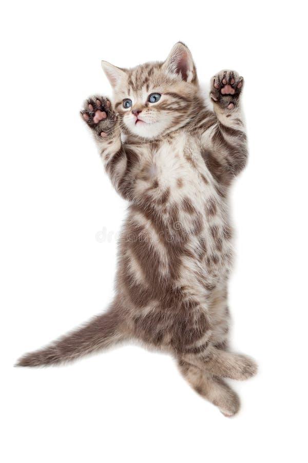 Draufsicht der lustigen Kätzchenkatze, die auf der Rückseite lokalisiert liegt stockbilder