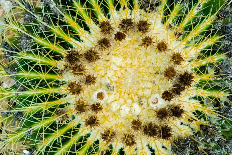 Draufsicht der Nahaufnahme des Kaktus des goldenen Fasses auf einer Schotterschicht stockbilder