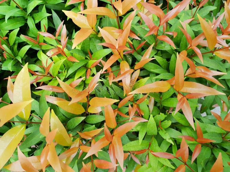 Draufsicht der Niederlassung und des Blätter Australiers Rose Apple oder der Bürsten-Kirsche als Hintergrund stockbilder