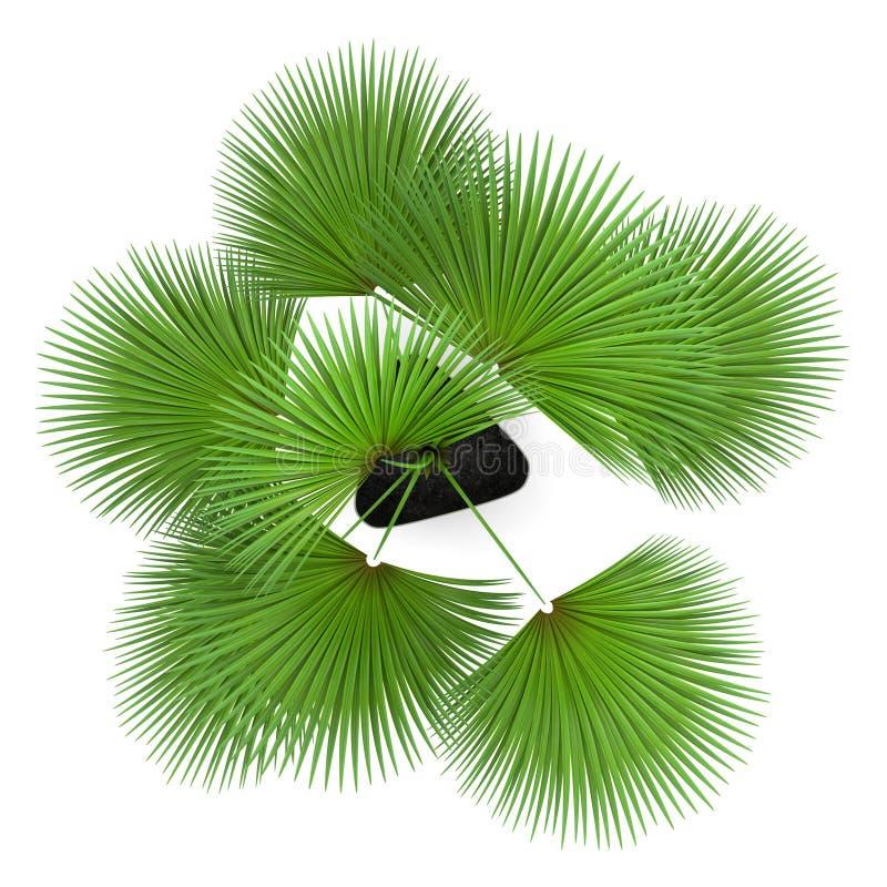 Draufsicht der Palme im Topf lokalisiert auf Weiß vektor abbildung