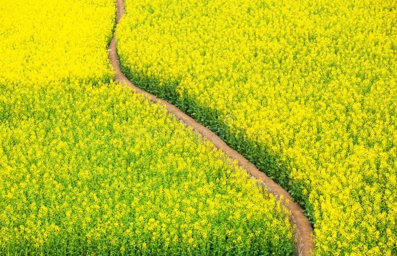 Draufsicht der ruhigen Schmutzbahn auf dem gelben Senfgebiet, blühender Senf auf Frühjahr lizenzfreie stockfotografie